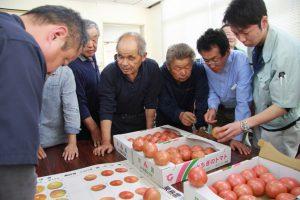 トマトの色目を確認する部会員